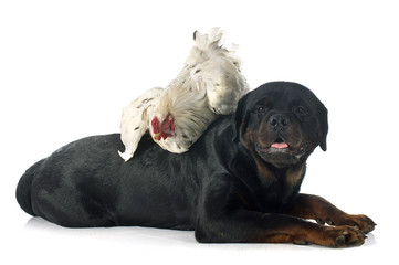 brahma rooster and rottweiler
