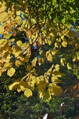 Fall Color-Yellow-1