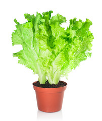 Lettuce in a pot isolated on a white background.