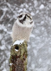 Northern hawk owl lat. Surnia ulula while snowing