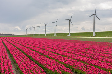 Dutch tulip field with a long row of wind turbines