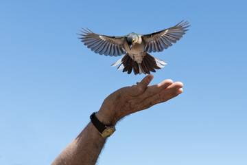 Little bird is picking peanuts from a male hand