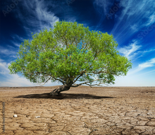 Lonely green tree on cracked earth - 71700488