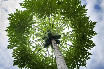 Mamoeiro carregado com mamões papaia verdes