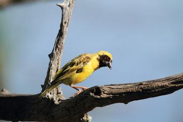 uccello tessitore colore giallo kruger sudafrica
