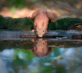 Red squirrel at water