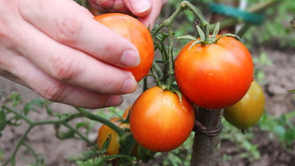 gentle woman hands gather wet ripe red tomatoes in garden