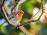 Fototapety red robin bird on a tree branch