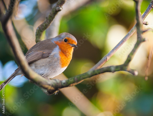Poster red robin bird on a tree branch