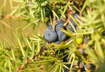 Juniperus communis, the common juniper