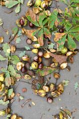 The fallen chestnut acorns.