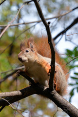 Red squirrel sitting on a tree branch in autumn
