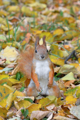 Funny squirrel in autumn forest