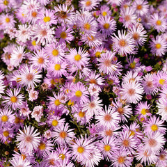 Autumn asters flowers