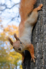 Red squirrel on tree in autumn