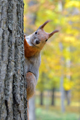 Portrait of a red squirrel in autumn