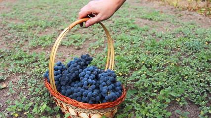 hands of woman put purple grape in basket, then takes it