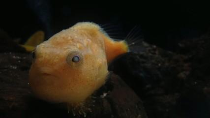水族館の小さな赤いフグ_1