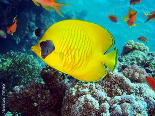 canvas print picture Masken-Falterfisch