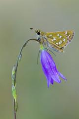 Silver-spotted Skipper,Hesperia comma