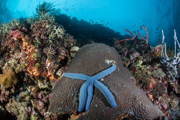 Blue Star and Reef