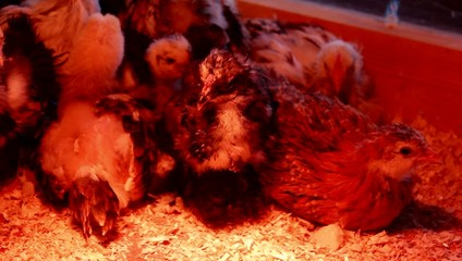 group of chicks in the incubator