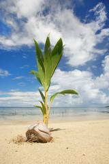 Palm tree sprout on a tropical beach, Nananu-i-Ra island, Fiji