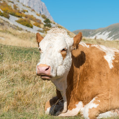 Cow is resting on the plateau of Campo Imperatore, Abruzzo Italy