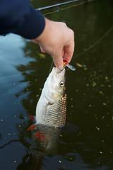 Chub in fisherman's hand