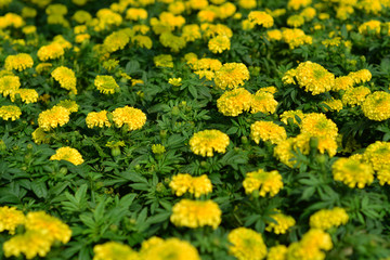Beautiful garden marigold yellow.