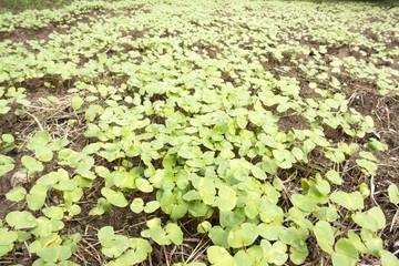 発芽したソバ畑
