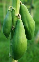 Green papaya in plant