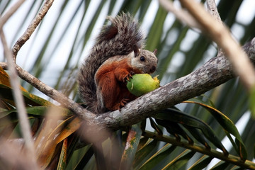Palm squirrel eats the fruit