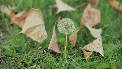 dandelion and dried leaves