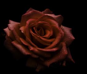 Red rose on black.