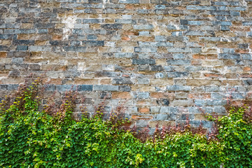 ivy with ancient city wall
