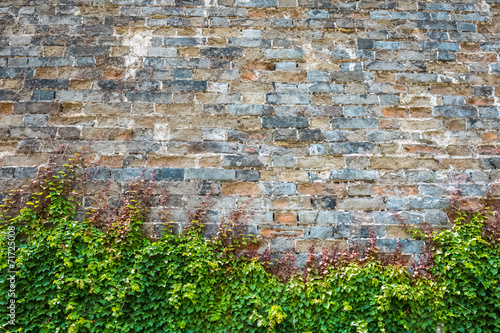 Foto op Canvas Wand ivy with ancient city wall