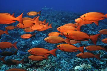 Riff-Großaugenbarsche