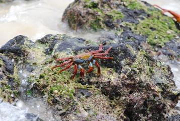 Sally Lightfoot Crab (2)