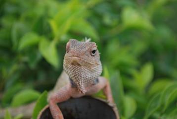 Lizard in India