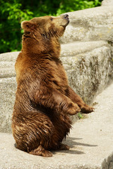 Brown bear standing on hind paws