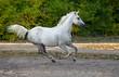 Obrazy na płótnie, fototapety, zdjęcia, fotoobrazy drukowane : Gray arabian horse runs gallop in the farm