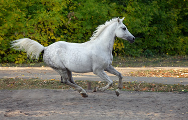 Gray arabian horse runs gallop in the farm