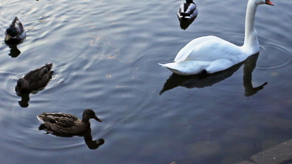 white swan swims between wild ducks in lake