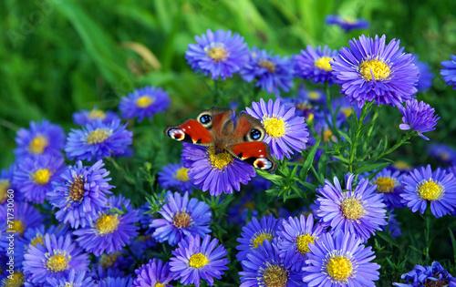 Fotobehang Vlinder Tagpfauenauge nascht von Herbstastern