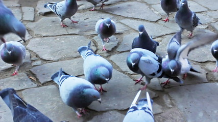 gray pigeons run on pavement waiting for food