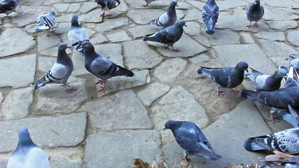 gray pigeons peck and run on pavement