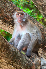 Monkey, macaque on a tree