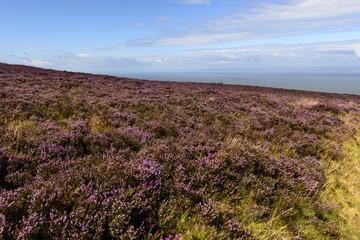 heather field  in moor and Bristol channel, Exmoor