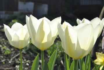 fototapeta białe kielichy tulipanów